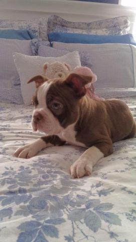 ADORABLE RED Boston Terrier puppies~ 9 weeks old