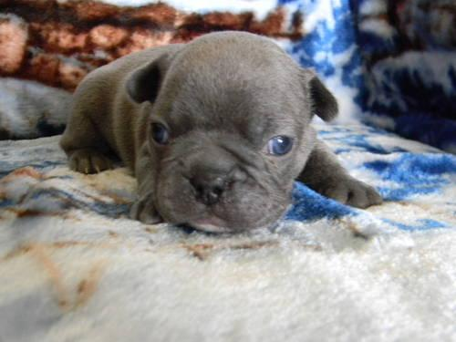 French Bulldog puppies AKC