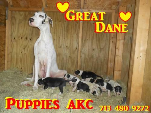 ? 9 Great Dane PUPPIES ? AKC ?