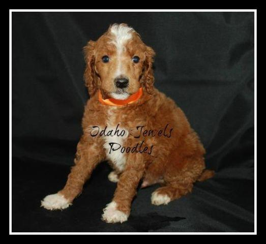 Red Parti Standard Poodle Puppies ~ AKC