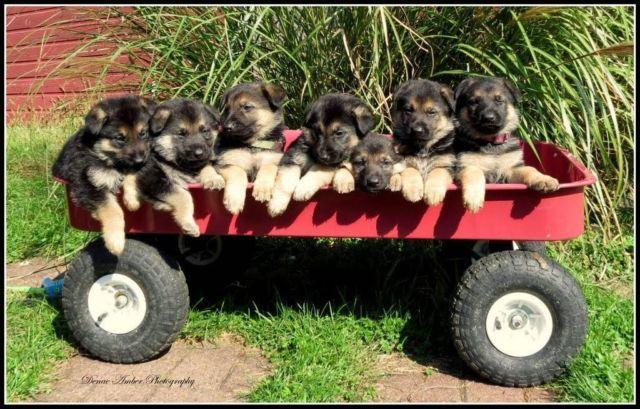 German Shepherd Puppies AKC