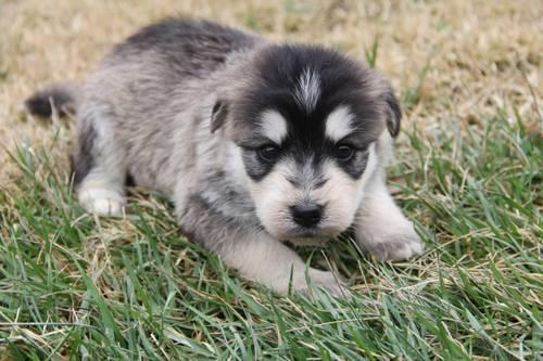 Siberpoo Puppies