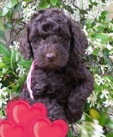 mini Australian Multigen Labradoodle puppies available- Chocolate!