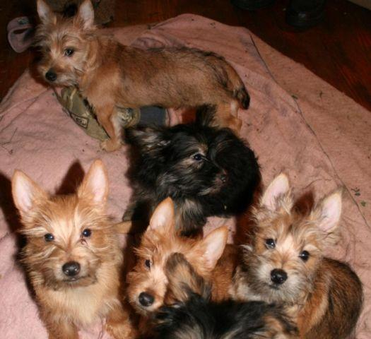 Cute Cairn Yorkshire Terrier Mix Puppies Carkies Small Non-Shedding