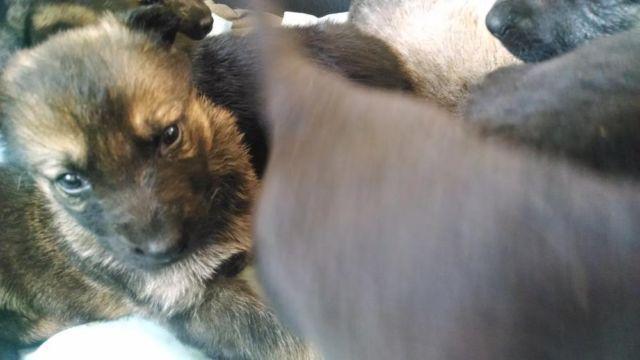 ***Stunning AKC German Sheperd Puppies! Champion Sired