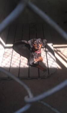 miniature pinscher puppies ckc