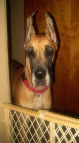 AKC Quality Fawn Great Dane Puppies Due Dec. 25