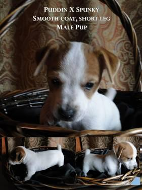 Adorable Jack Russell/Westie puppies for adoption