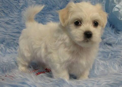 Adorable Coton de Tulear Puppies for Adoption