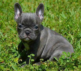 Elegant French Bulldog puppies for adoption