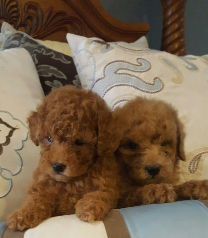 Beautiful Toy Poodle puppies for adoption