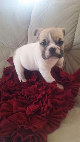 AKC registered Pug Puppies for Adoption.