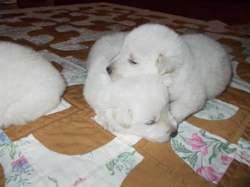 Beautiful White German Sheperd puppies for Christmas