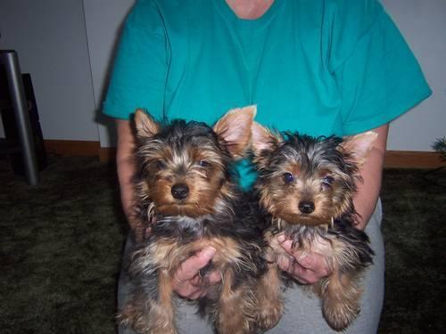 American Pitbull Terrior Puppies For Sale