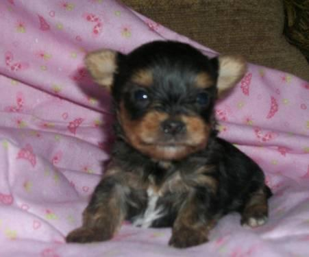 AKC Female Yorkie Puppies For Sale