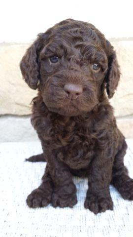 Australian multigen labradoodle puppies for sale