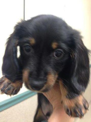 Longhaired Miniature Dachshund Puppies for Sale