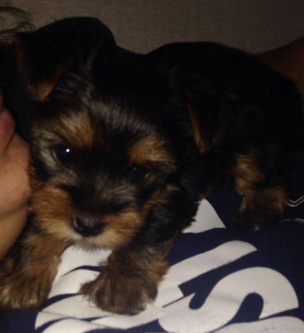 STANDARD SIZE YORKSHIRE TERRIER PUPPIES FOR SALE!