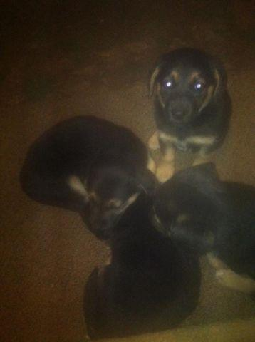 German Shepherd Mix Puppies For Sale!
