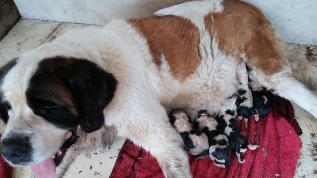 Beautiful AKC St. Bernard puppies for sale