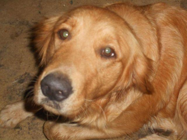 Cute AKC Golden Retriever Puppies for Sale
