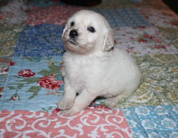 English Cream Goldendoodle Puppies For Sale For Sale In Morehead