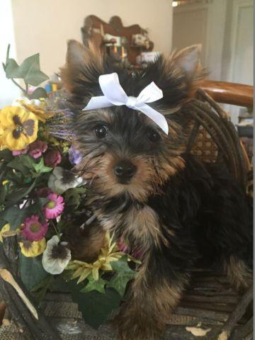 AKC Champion Dollface Yorkie Puppies for sale