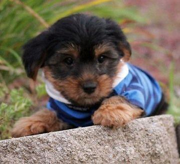absolutely cute Yorkshire Terrier puppies for sale