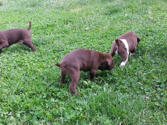 Humble German Akc Rottweiler Puppies For Sale For Sale In Omaha