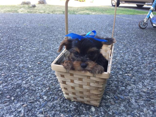 Cute AKC Yorkie Puppies For Sale
