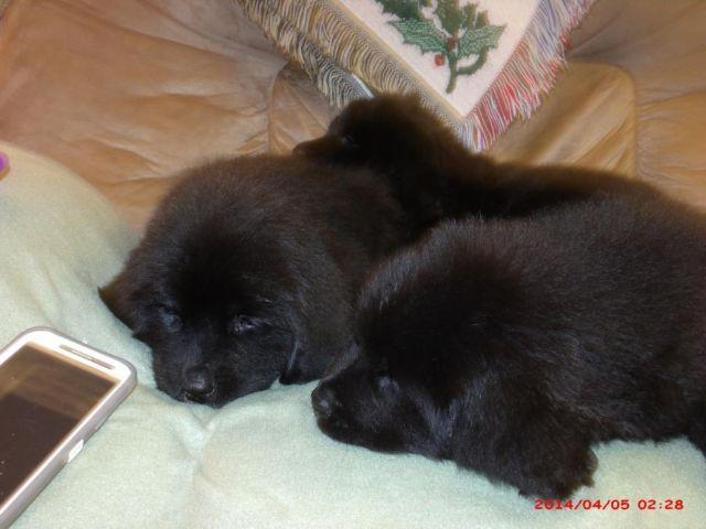 Beautiful AKC Newfoundland puppies girls