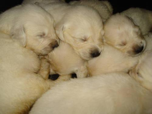 Full English Cream Puppies( golden retriever)