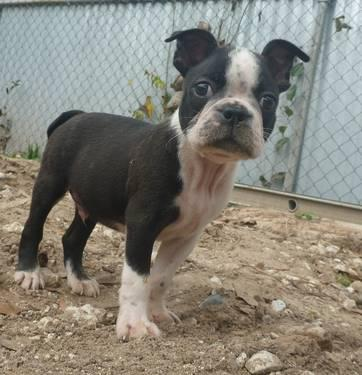 AKC Boston Terrier Puppies Male
