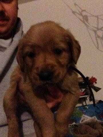 GOLDEN RETRIEVER PUPPIES READY for Sale in Flag Center, Illinois