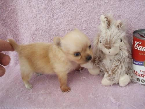 Tiny Teacup Longhaired Chihuahua Puppies Ready In August For Sale In