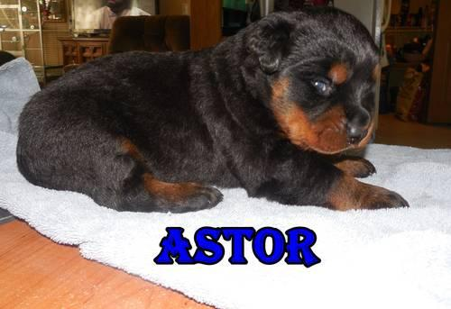 Akc German Rottweiler Puppies Taking Deposits For Sale In Newark