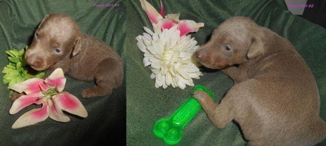 AKC Doberman Pinscher Puppies Taking Deposits for Sale in