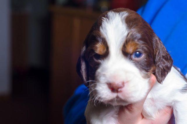 AKC English Springer Spaniel Puppies taking deposits for Sale in