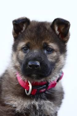 AKC DDR Lineage German Shepherd Puppies Titled/ health tested parents