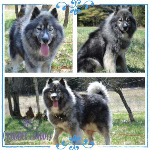 AKC Siberian Husky Puppies(wooly coat)