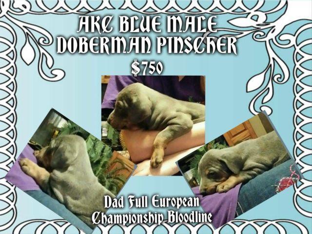 AKC Doberman Pinscher Puppiy 1/2 Euro