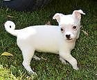 Chihuahua Puppy--Female--Shortcoat--White