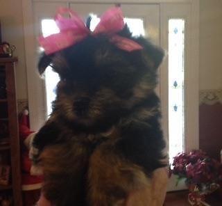 Cute female CKC Yorkshire Terrier Puppy - 7 weeks old