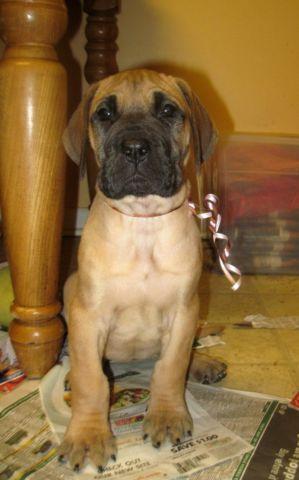 Adele: AKC Fawn Female Great Dane Puppy - 7 weeks old