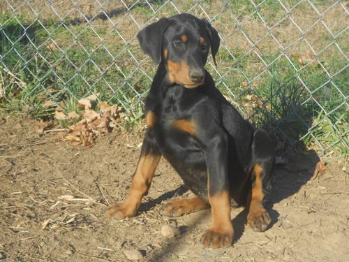 Doberman Pinscher Puppy for Sale in Center, Kentucky