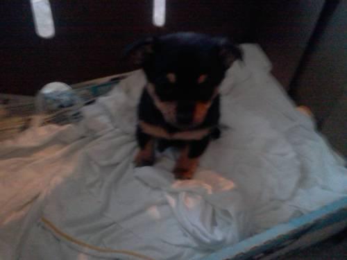 Pomeranian chiuahua puppy
