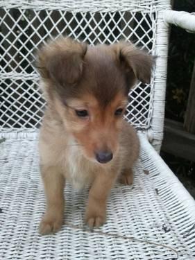 Sheltie/Dachshund puppy