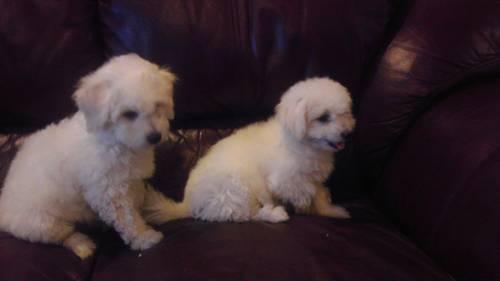Bichon puppy
