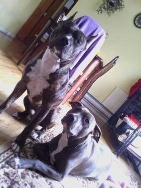 PITBULL TERRIER puppy!!!