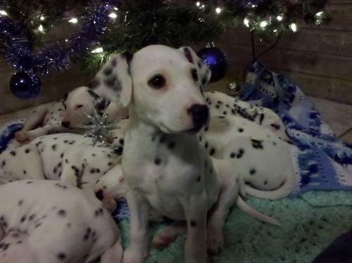AKC Dalmation puppy